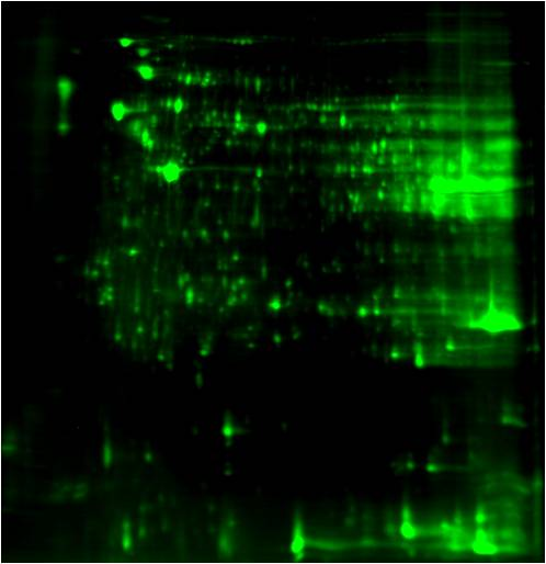 4-Hydroxynonenal (4-HNE) 2D Western Blot: Mouse liver proteome 2D image