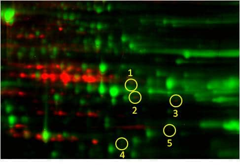 Phosphoproteomics study design A: protein/phospho-protein overlay image of Control sample