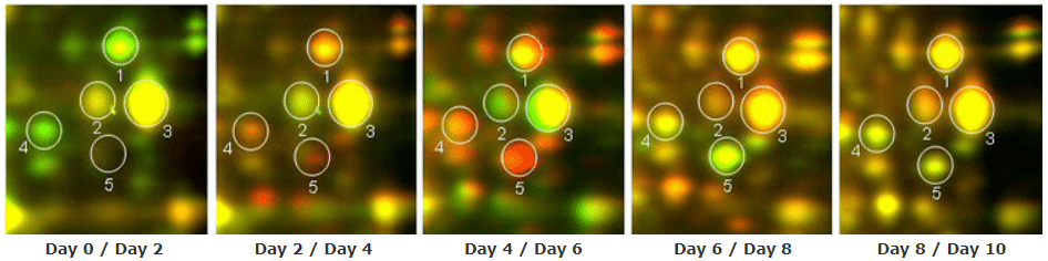 Time course study by 2D DIGE protein array to show proteome change during stem cell differentiation: Zoomed view of day 0-10