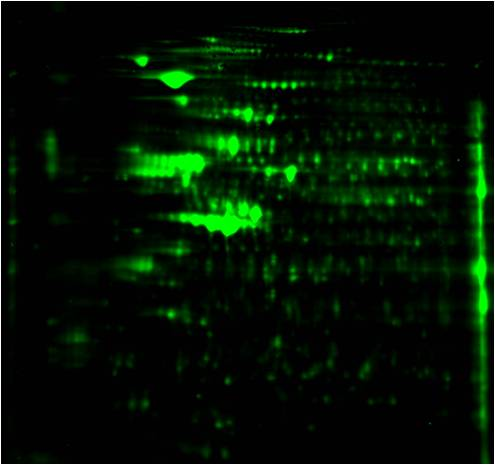 Phosphoproteomics study design B: Total protein image