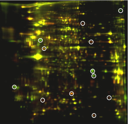 Identify therapeutic markers by 2D DIGE protein array: color overlay image of D13/D20 Tmart-1–specific CD8+ T-cell proteome