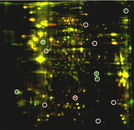 Identify therapeutic markers by 2D DIGE protein array: color overlay image of D13/D27 Tmart-1–specific CD8+ T-cell proteome