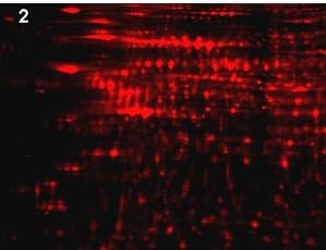 Phosphoproteomics study design C: total protein image of Drug-treated sample