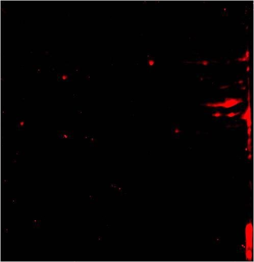 Citrullination 2D Western Blot: Anti-Citrullination 2D Western Blot image