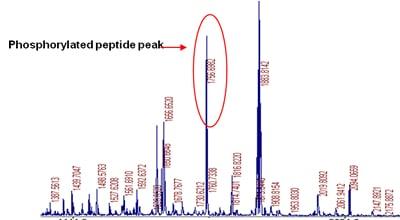 Phosphorylation Site Identification Procedure: step 4 - MS showing the intact phospho-peptide peak