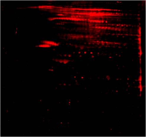 Anti-Phospho-Serine/Threonine/Tyrosine (pSer/pThr/pTyr) 2D Western Blot: Anti-pSer/pThr/pTyr 2D Western Blot image