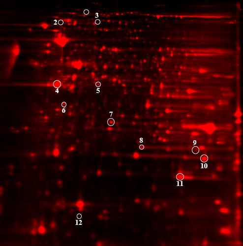 2D DIGE protein array of 2 samples: color image of test sample