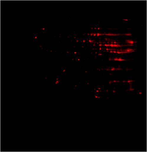 Anti-Succinyl lysine 2D Western Blot: Anti-Succinyl-Lysine 2D Western Blot image